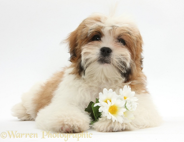 Maltese x Shih-tzu pup, Leo, 13 weeks old, lying with head up with daisy flowers, white background