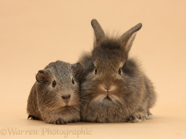 Baby agouti rabbit and Guinea pig on beige background