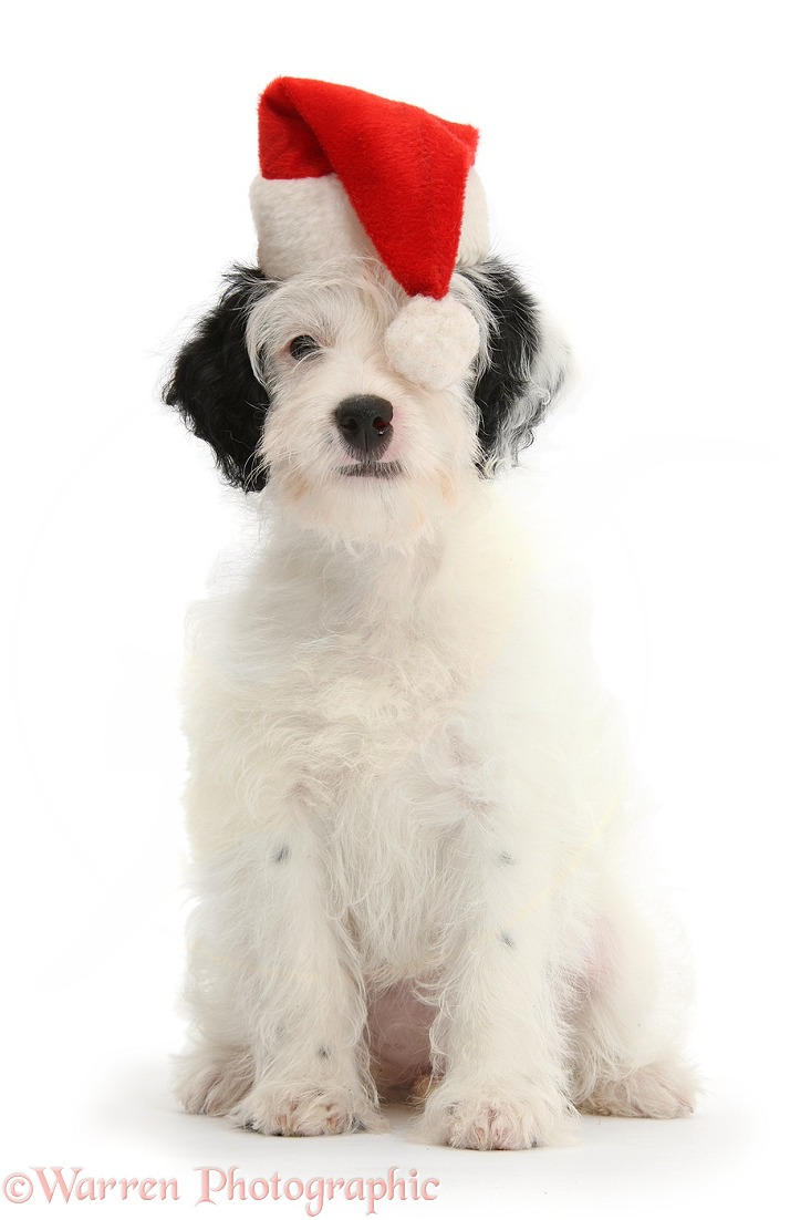 Jack-a-poo (Poodle x Jack Russell Terrier) bitch pup, Pukka, 10 weeks old, wearing Father Christmas hat, white background