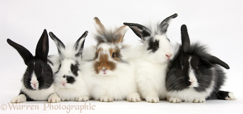 Five young Lionhead-cross rabbits, white background