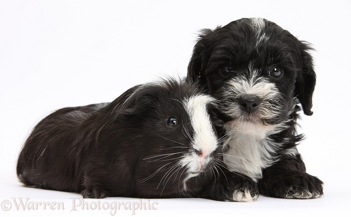Black-and-white Yorkipoo pup, 7 weeks old, and black-and-white Guinea pig, white background