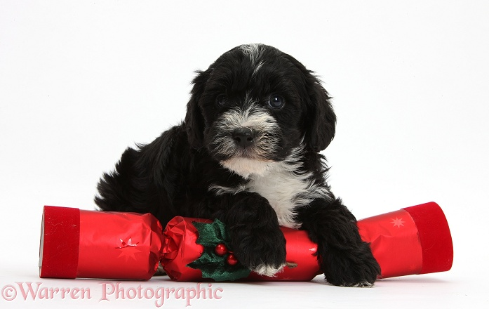 Black-and-white Yorkipoo pup, 7 weeks old, with a Christmas cracker, white background
