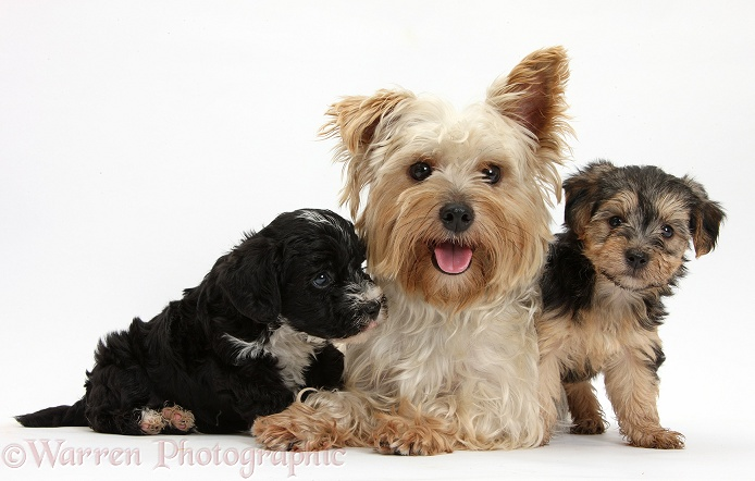 Yorkshire Terrier mother, Evie, and Yorkipoo pups, 7 weeks old, white background
