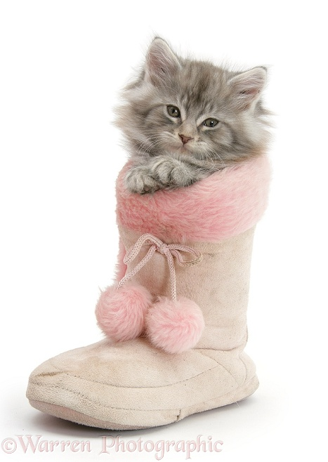 Maine Coon kitten in a pink furry boot, white background
