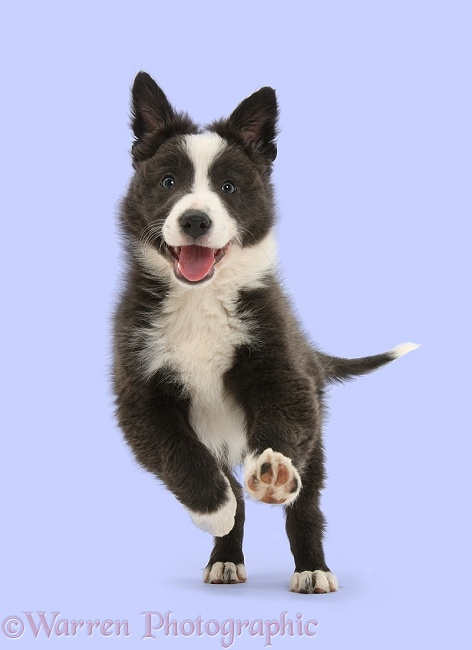 Blue-and-white Border Collie pup running forward, white background