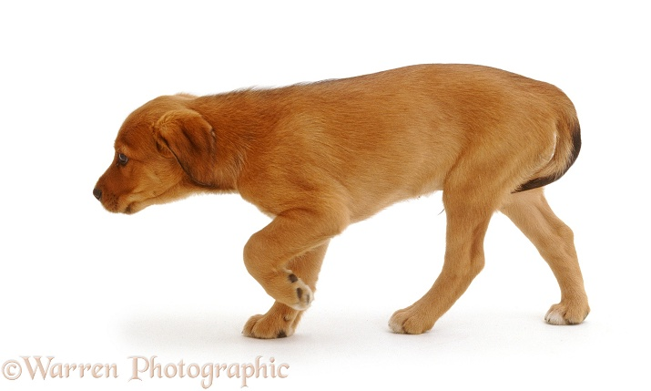 Lakeland Terrier x Border Collie pup, Joker, 8 weeks old, slinks away with his tail between his legs, white background