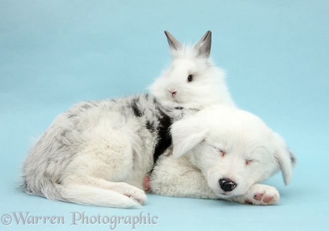Mostly white Border Collie pup, Gracie, 8 weeks old, sleeping with white rabbit on blue background