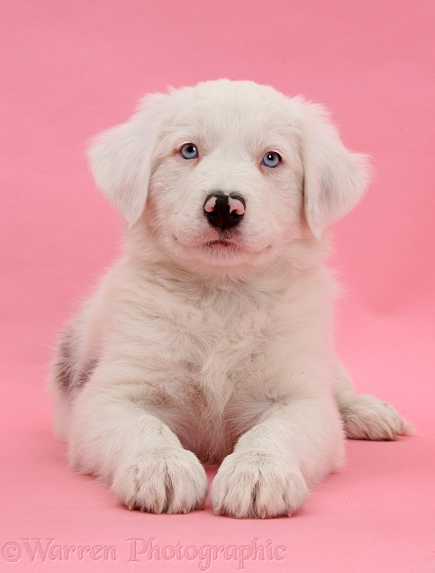 Mostly white Border Collie dog pup, Dash, 8 weeks old, unilaterally deaf, lying with head up on pink background