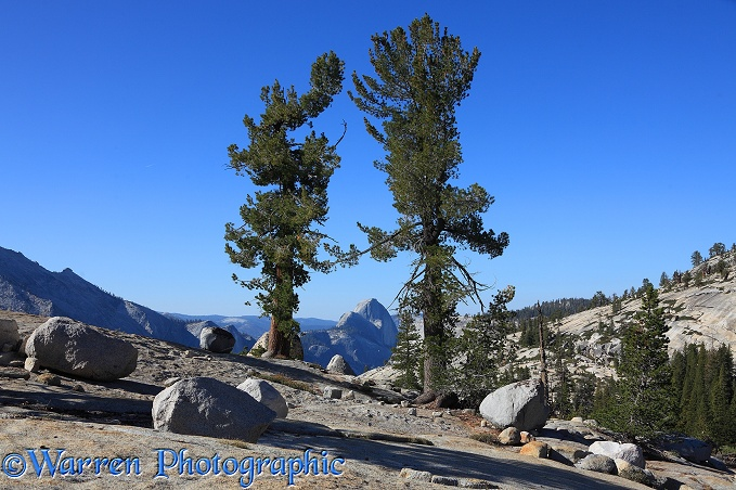 Whitebark Pine (Pinus albicaulis) and granite boulders.  Yosemite, California, USA