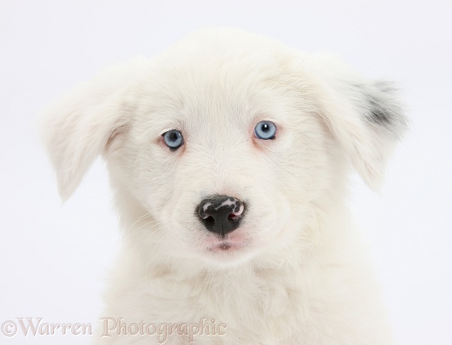 Mostly white Border Collie bitch pup, Gracie, 8 weeks old, half deaf, white background