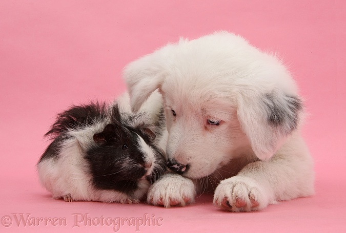 Mostly white Border Collie dog pup, Dash, 8 weeks old, unilaterally deaf, with black-and-white Guinea pig on pink background