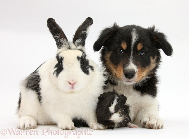 Tricolour Border Collie pup, Drift, 8 weeks old, with black-and-white rabbit and Guinea pig, white background