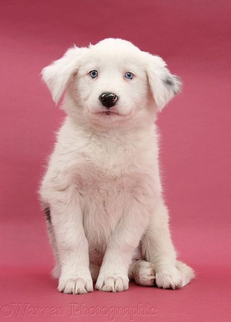 Mostly white Border Collie bitch pup, Gracie, 8 weeks old, half deaf, sitting on pink background