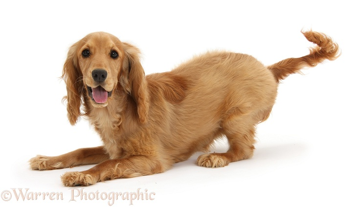 Playful Golden Cocker Spaniel, Sadie, 6 months old, in play-bow stance, white background