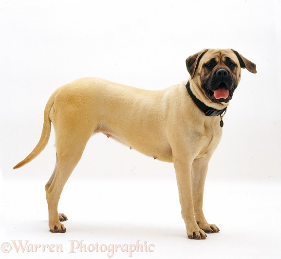 Mastiff bitch, Abbey, 10 months old, white background