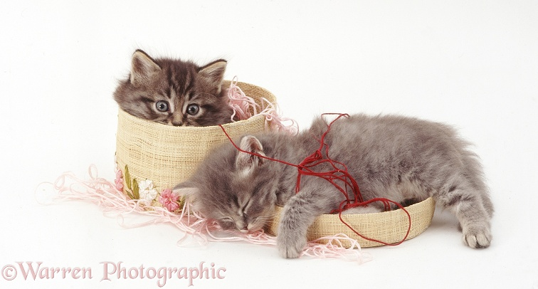 Two tabby kittens, one asleep in a basket of wool, white background