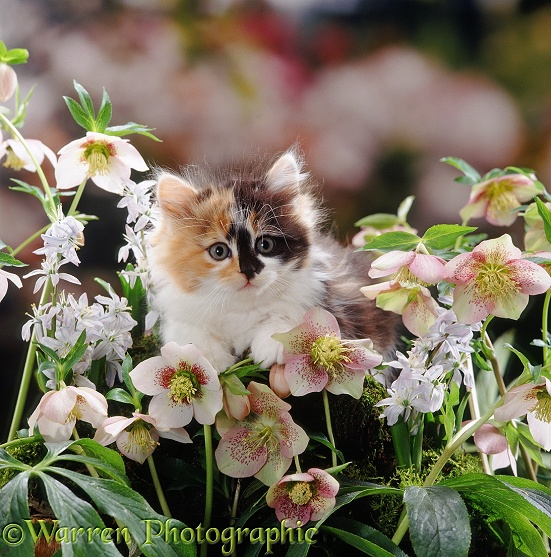Fluffy tortoiseshell-and-white kitten (Cosmos x Specs) among Scillas and Lenten Roses (Helleborus orientalis)