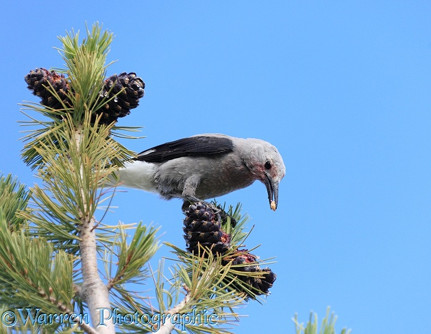 Clark's Nutcracker (Nucifraga columbiana) eating seeds from its favourite food plant, the Whitebark Pine (Pinus albicaulis).  Western N. America