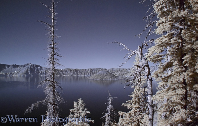 Mountain Hemlocks (Tsuga mertensiana) and Crater Lake photographed in near infrared light.  Crater Lake, Oregon, USA
