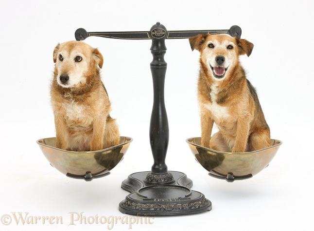 Lakeland Terrier x Border Collie, Bess, shown happy and apprehensive in old Victorian scales, white background