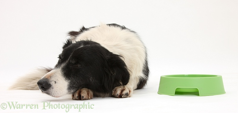 Black-and-white Border Collie, Phoebe, looking disinterested in her food bowl, white background