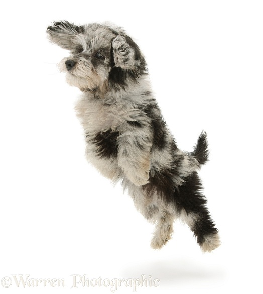 Fluffy black-and-grey Daxie-doodle pup, Pebbles, taking a flying leap, white background