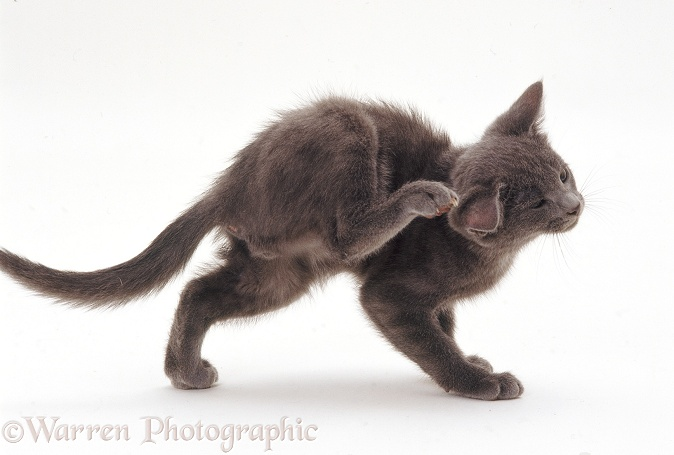 Grey kitten with bad eczema scratching itself, white background