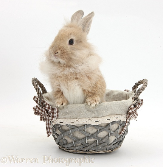 Perky Lionhead-cross Bunny in a basket, white background