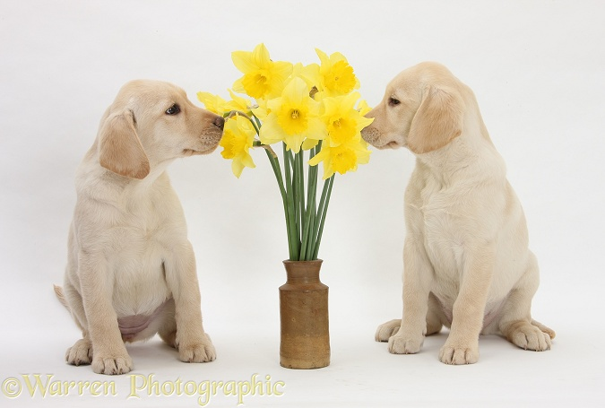 Yellow Labrador Retriever bitch pups, 10 weeks old, sniffing yellow daffodils, white background