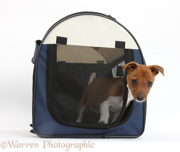 Jack Russell Terrier x Chihuahua pup, Nipper, in a pet carry case, white background