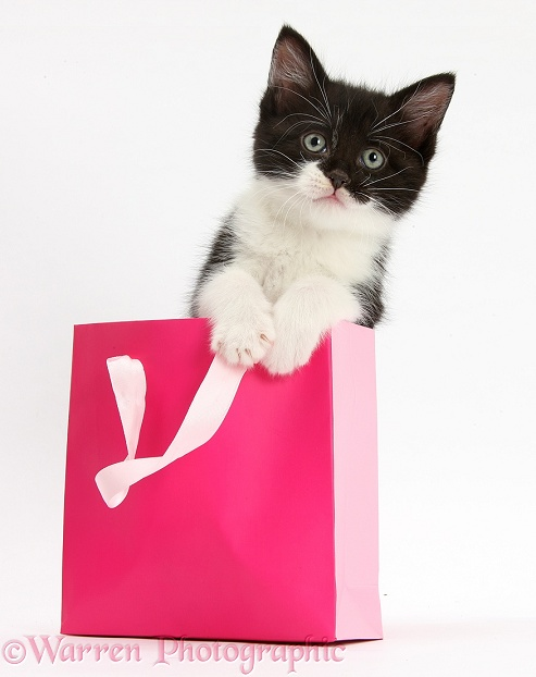 Black-and-white kitten in a pink gift bag, white background