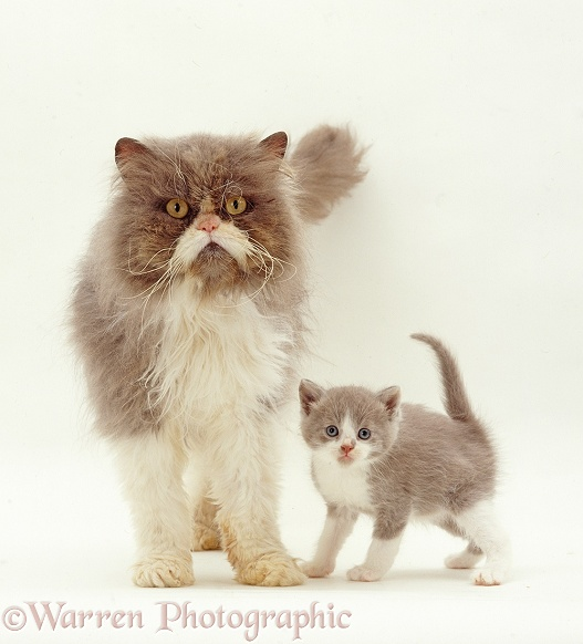 Blue bicolour Persian male cat, Cobweb, with his Lilac bicolour kitten, Gossamer II, 6 weeks old, white background