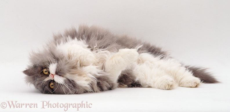 Blue bicolour Persian male cat, Cobweb, lounging, white background