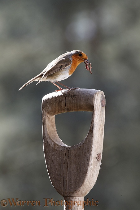European Robin (Erithacus rubecula) with worm