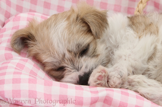 Bichon Frise x Yorkshire Terrier pup, 6 weeks old, asleep on pink gingham bedding