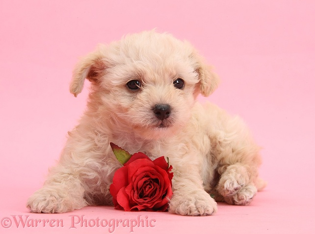 Cute Bichon Frise x Yorkshire Terrier pup, 6 weeks old, with red rose on pink background