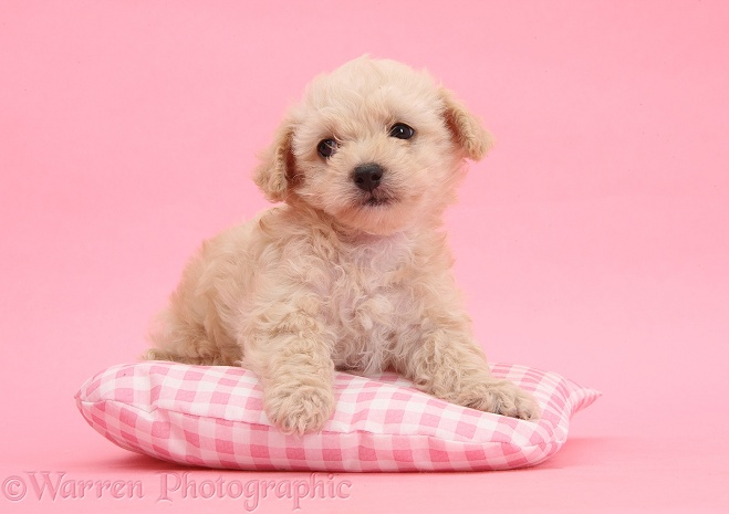 Bichon Frise x Yorkshire Terrier pup, 6 weeks old, lying on pink gingham cushion