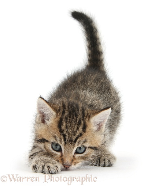 Cute playful tabby kitten, Stanley, 6 weeks old, white background