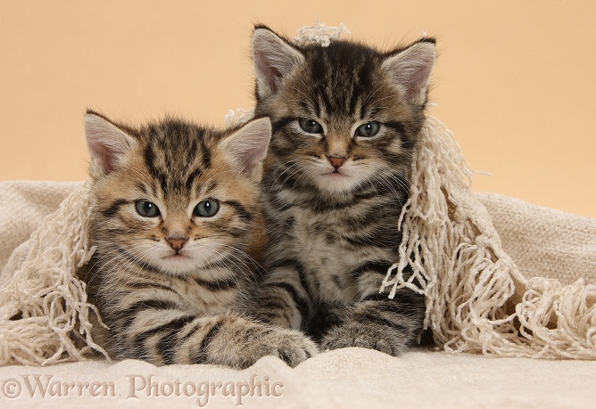 Cute tabby kittens, Stanley and Fosset, 6 weeks old, under a beige shawl
