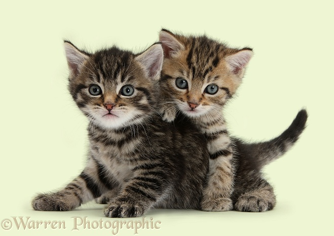 Cute tabby kittens, Stanley and Fosset, 6 weeks old, white background