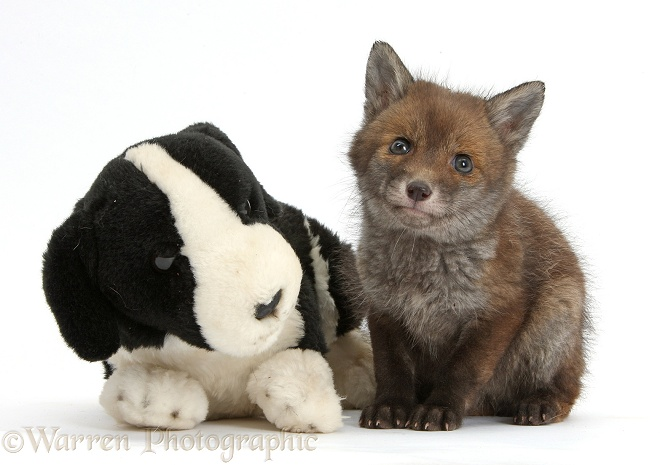 Red Fox (Vulpes vulpes) cub vixen, sitting with stuffed toy dog, white background