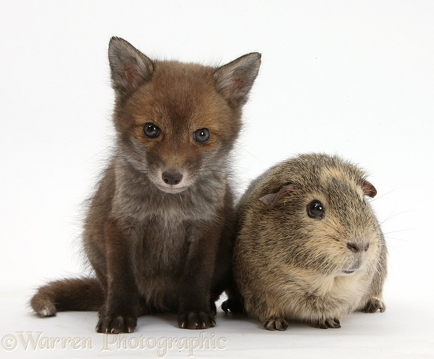 Red Fox (Vulpes vulpes) cub vixen, sitting with a Guinea pig, white background