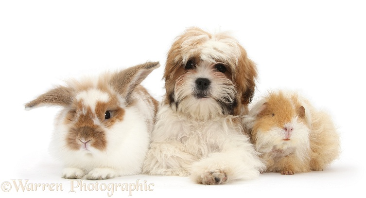 Maltese x Shih-tzu pup, Leo, 13 weeks old, with matching sandy-and-white shaggy Guinea pig and rabbit, white background