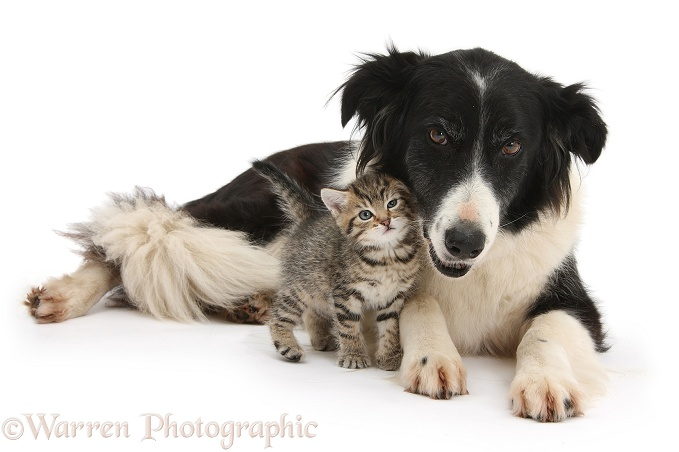 Cute tabby kitten, Stanley, 6 weeks old, with Black-and-white Border Collie bitch, Phoebe, white background