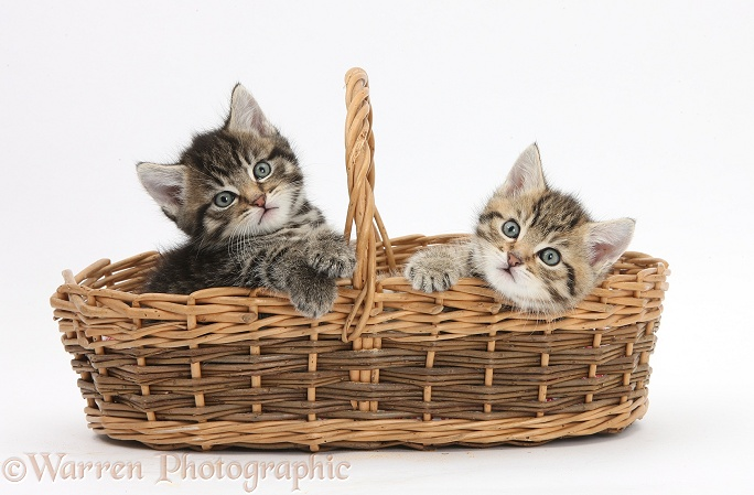 Cute tabby kittens, Stanley and Fosset, 6 weeks old, in a wicker basket, white background