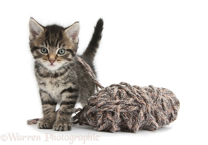 Cute playful tabby kitten, Fosset, 6 weeks old, with a ball of knitting wool, white background