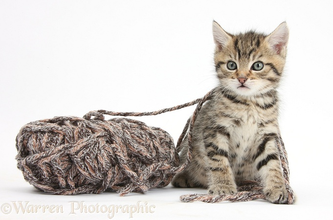 Cute playful tabby kitten, Stanley, 6 weeks old, with a ball of knitting wool, white background