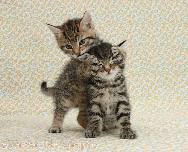 Two cute tabby kittens, Stanley and Fosset, 6 weeks old, playing 'Guess Who' on flowery background