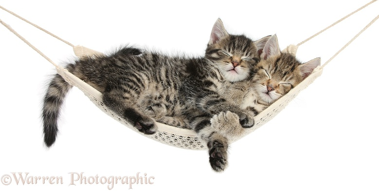 Two cute tabby kittens, Stanley and Fosset, 7 weeks old, sleeping in a hammock, white background
