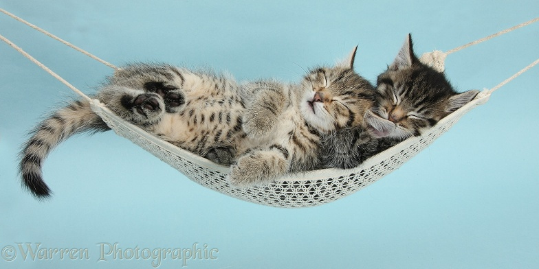 Two cute tabby kittens, Stanley and Fosset, 7 weeks old, sleeping in a hammock